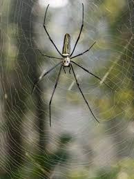 Spider silk spun into <b>violin strings</b> - BBC News