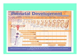 Prenatal Development Chart Read_ P D F Prenatal Development Anatomical Chart Book