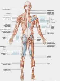 Anatomy Chart Muscular System Us 5 56 36 Off Human Body Anatomical Chart Muscular System Campus Knowledge Biology Classroom Wall Painting Fabric Poster 17x13