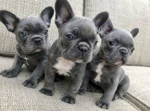 cute blue french bulldog puppies. Cute Blue French Bulldog Puppies Available 778 7665875 For
