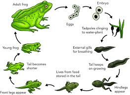 Frog Transparent Egg Frog Life Cycle Chart Download