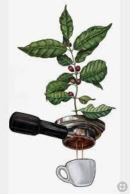 If you choose to prune your coffee plant, the best time is early spring. Coffee Plant To Cup Coffee Plant To Cup Coffee Plant Coffee Illustration Coffee Painting