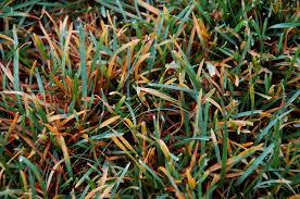 Turf Disease Turf Disease Detail For Rust Puccinia Spp