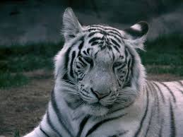 white tiger. Modren Tiger Adult White Tiger Moscow Zoo  Intended Tiger E