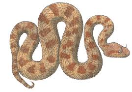 Depending upon the source, and allowing for taxonomic fluctuations, there are roughly 14 genera and approximately 85 viper species currently recognized. Adw Cerastes Cerastes Information