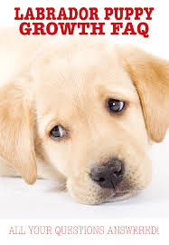 When Do Dogs Stop Growing Labrador Puppy Growth Chart And