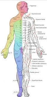 Dermatomal Pattern Enchanting Dermatome Anatomy