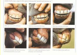 Www Horse Teeth Age Chart Discuss Tooth Question At The