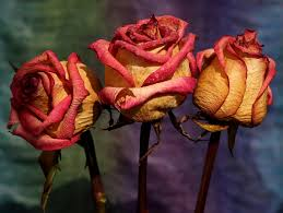 pictures of the flower. Modren The Dried Roses Throughout Pictures Of The Flower N