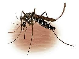 Image result for lamok na may dengue