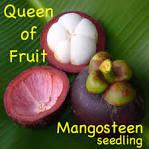 purple mangosteen