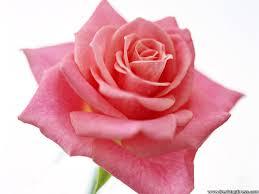 light pink rose flowers wallpaper. Light Pink Rose On Flowers Wallpaper
