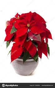 Schöne Weihnachtsstern Euphorbia Pulcherrima Blume