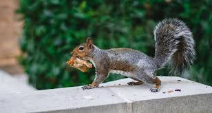 repell squirrels humanely