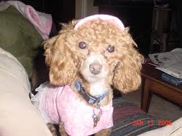 pebbles my baby i miss you i will remember you always lost in landrum from doggie barber