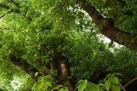 neem tree essay neem tree essay bean tree essay neem tree  neem tree essay