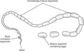 Dog Worm Identification Chart Tapeworms An Overview Sciencedirect Topics
