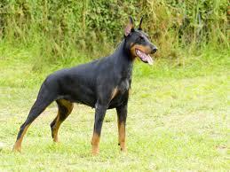 pitbull dog vs doberman. Simple Doberman Doberman Pinscher For Pitbull Dog Vs Doberman N