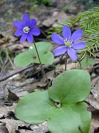 Hepatica, Hepatica nobilis - Flowers - NatureGate