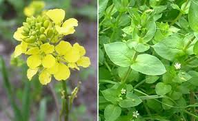 Image result for CHICKWEED    SPURGE