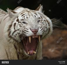 white tiger growling. Delighful White White Tiger Growling On Bigstock