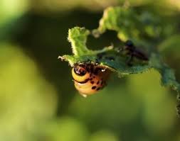 garden insecticide. Natural Home Pesticides: Organic Garden Pest Control Insecticide I