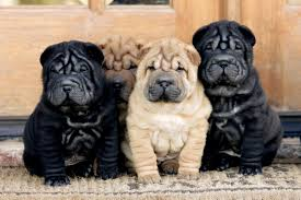 chinese shar pei dog breed information