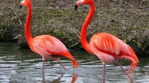 pictures of flamingos to color. Plain Color Intended Pictures Of Flamingos To Color