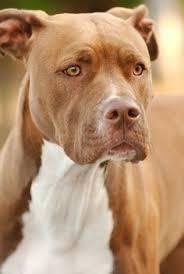 american bulldog red nose pitbull mix.  Nose American Bulldog Mom And Red Nose Pit Bull Dad To Pitbull Mix D