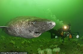 greenland shark fearsome creature eats polar bears and smiles for eat polar bears killer a smile the greenland shark might look friendly but the beast is known