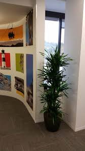 modern office plants. Dracaena Rikki \u2013 Modern Office Indoor Plants