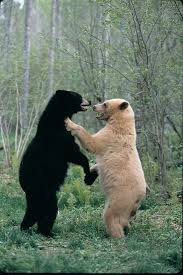 best ideas about spirit bear black bear bears 35 animals who just want to dance