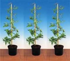 Climbing Plant Support  HouzzClimbing Plant Support