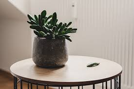 low maintenance office plants. Its Dark Green Leaves Utilize Sunlight Extremely Well, Making This Low- Maintenance Low Office Plants E