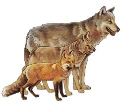 Wolf Species Size Chart Gray Wolf Yellowstone National Park U S National Park