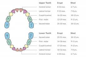 What Age Do Kids Lose Teeth Chart Facts About Children Losing Teeth Lovetoknow