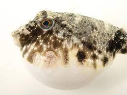 pufferfish national geographic