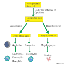 White Blood Cell Part 1 Total Leukocytes Count Procedure