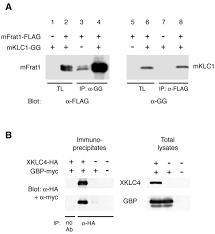 Kinesin Light Chain Antibody Gbp Binds Kinesin Light Chain And Translocates During