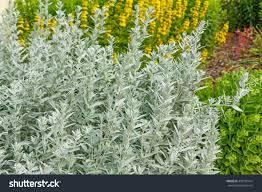 Artemisia Landscape Design Artemisia Ludoviciana Perennial Plant Landscaping Stock