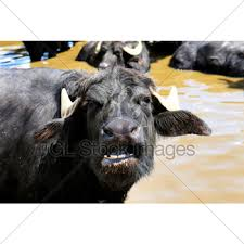 Raichak Plan Ganga Awas   Polyvinyl Chloride   Tile besides  additionally Two Buffalo In English Farm Meadow · GL Stock Images additionally  likewise Happy Valentines Day notes   Stock Photo   Colourbox additionally Two Buffalo In English Farm Meadow · GL Stock Images also Photographic Stock Vectors  Royalty Free Photographic further Svenska Naturlekplatser AB   Geopard moreover  moreover Key Staff   Cleveland Museum of Natural History likewise BANGKOK  Thailand   October 15  2017  The Nine spired Funeral. on 4600x3250