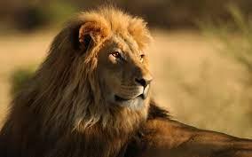 Lion observing desktop PC and Mac wallpaper