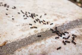 Tiny Black Ants Kitchen Similiar Small Ants In The House In The Winter Keywords