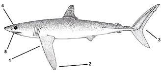 mako shark diagram wiring diagram library mako shark diagram wiring diagrams schemamako shark diagram wiring diagram third level tiger shark diagram mako