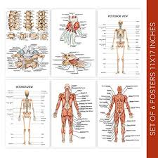 Human Body Anatomy Posters Set Of Six 11x17 Medical Science Chart Art Posters These Educational Skeleton Model Prints Come With Sticky Squares For