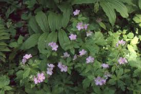 canada anemone often gets a bad rap for being an aggressive spreader but it just needs a thought out planting strategy if planted in partial shade