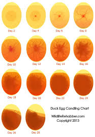 Egg Candling Chart How Your Fertile Eggs Should Look On