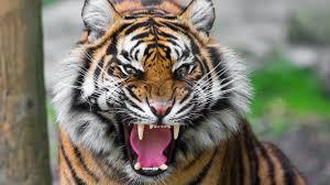 1920x1080 preview wallpaper tiger face teeth anger big cat 1920x1080