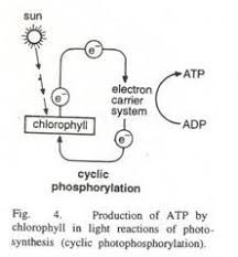 photosynthesis essay on photosynthesis words  it is the main event in light reactions of photosynthesis