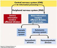 Nervous System Flow Chart Flow Chart Nervous System Peripheral Autonomic